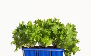 Herb---Ice-Berg-Lettuce---pot-size-15cm