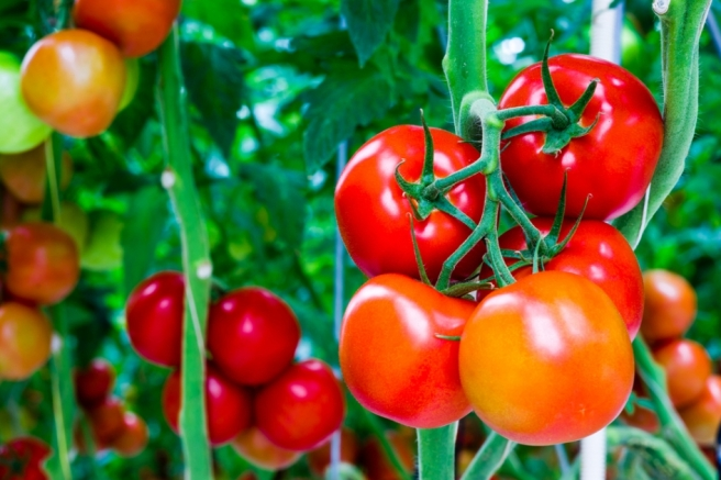 Growing-Tomatoes-01.jpg